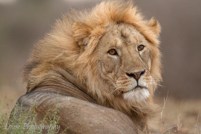 "Male <a target=""NEWWIN"" href=""http://en.wikipedia.org/wiki/Lion"">Lion (<i>Panthera leo</i>)</a>, <a target=""NEWWIN"" href=""http://en.wikipedia.org/wiki/Tarangire_National_Park"">Tarangire National Park</a>, Tanzania"