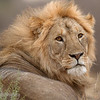 "Male <a target=""NEWWIN"" href=""http://en.wikipedia.org/wiki/Lion"">Lion (<i>Panthera leo</i>)</a>, <a target=""NEWWIN"" href=""http://en.wikipedia.org/wiki/Tarangire_National_Park"">Tarangire National Park</a>, Tanzania"