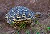 Turtle, Tarangire National Park, Tanzania, Africa.  February 2016