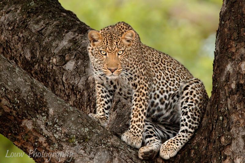 "<a target=""NEWWIN"" href=""http://en.wikipedia.org/wiki/Leopard"">Leopard (<i>Panthera pardus</i>)</a>, <a target=""NEWWIN"" href=""http://en.wikipedia.org/wiki/Tarangire_National_Park"">Tarangire National Park</a>. Tanzania"
