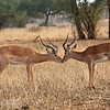 "Male <a target=""NEWWIN"" href=""http://en.wikipedia.org/wiki/Impala"">Impalas (<i>Aepyceros melampus</i>)</a>, <a target=""NEWWIN"" href=""http://en.wikipedia.org/wiki/Tarangire_National_Park"">Tarangire National Park</a>, Tanzania"