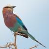 "<a target=""NEWWIN"" href=""http://en.wikipedia.org/wiki/Lilac-breasted_Roller"">Lilac-breasted Roller (<i>Coracias caudatus</i>)</a>, <a target=""NEWWIN"" href=""http://en.wikipedia.org/wiki/Tarangire_National_Park"">Tarangire National Park</a>, Tanzania"
