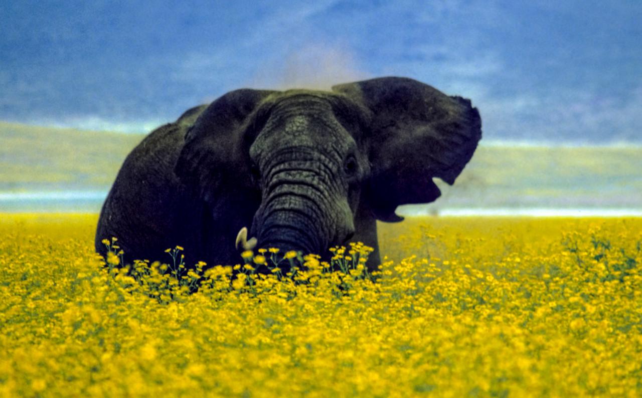 Elephant eating wild marigolds; Ngorongoro Crater, Tanzania