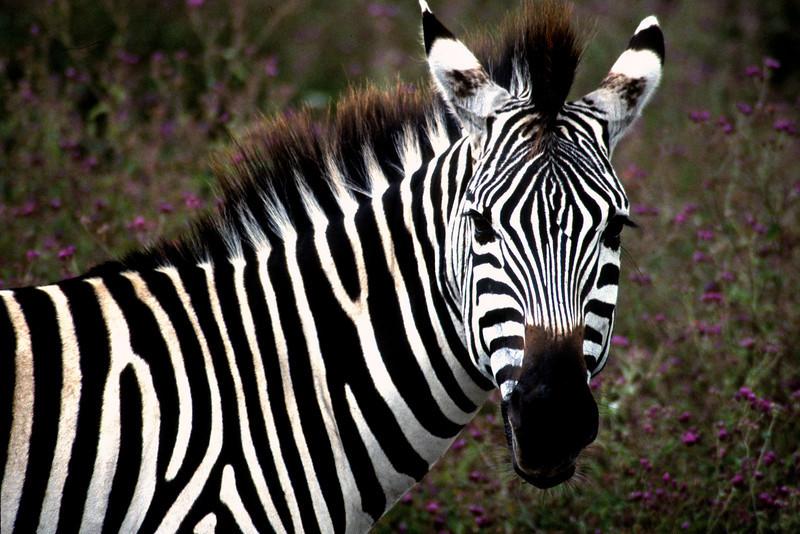 Zebra amongst wild flowers; Ngorongoro Crater; Tanzania