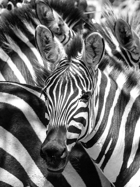 Zebra Head Shot