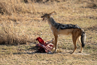Silver-backed jackal in the Serengeti