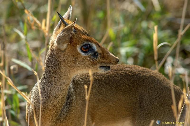 Dik-Dik Antelope (Madoqua kirkii) - Tarangire NP., Tanzania