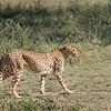 Chetah On The Prowl