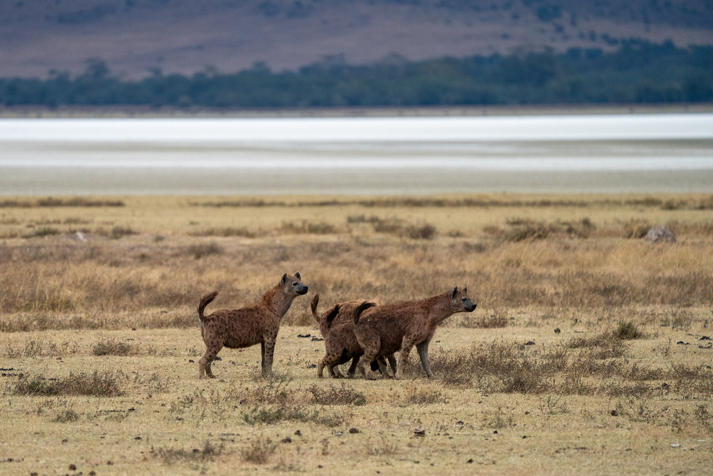 Hyenas in the Ngorongoro Crater