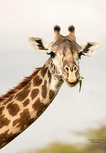 Munching Giraffe