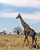 Giraffe, Tarangire NP