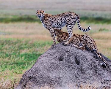 Serengeti National Park, Tanzania Two Cheetahs survey the landscape while sitting on a termite mound in the Serengeti National Park.