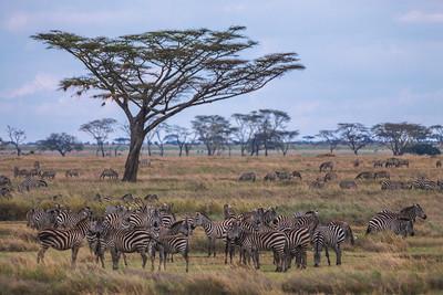 Serengeti National Park, Tanzania A herd of Plains Zebras on the Serengeti.