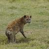 Spotted Hyaena (Crocuta crocuta), Ngorongoro Crater NP., Tanzania