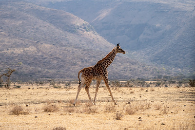 Baby giraffe in the Serengeti