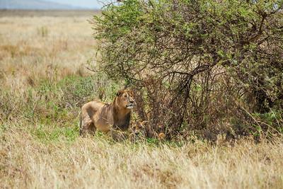 Serengeti National Park, Tanzania A lion and lioness on the Serengeti in Tanzania.