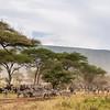 Migration Under the Acacias