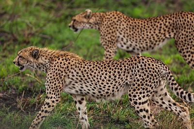 Serengeti National Park, Tanzania Two Cheetahs on the prowl in Serengeti National Park.