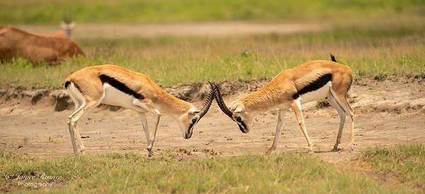 Thomson's gazelle boys sparring