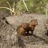 Slender Mongoose (Galerella sanguinea) - Tarangire NP., Tanzania