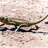 Chameleon Crossing the Road into Ngorongoro Crater