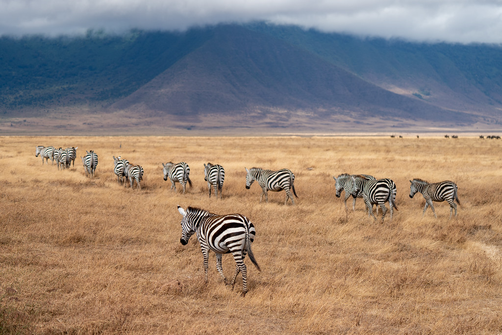 Zebras in the Ngorongoro Crater
