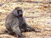 Baboon, Tarangire NP