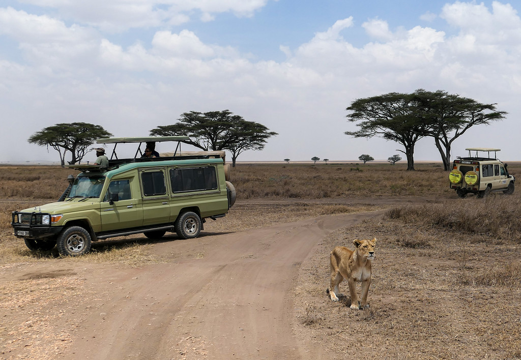 Safari trucks watching a lioness