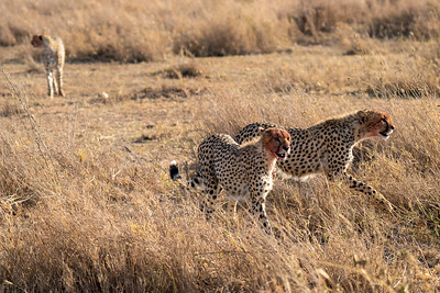 Cheetahs after a fresh kill in the Serengeti
