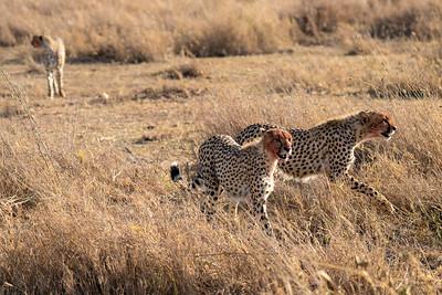 Cheetahs after a fresh kill in the Serengeti