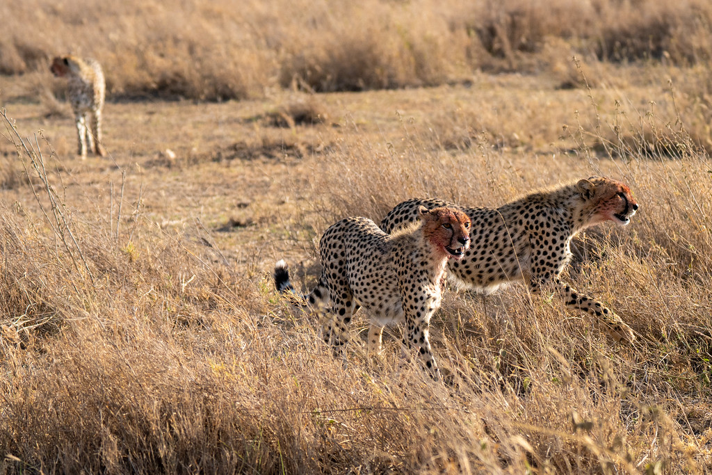 Bloody cheetahs in the Serengeti