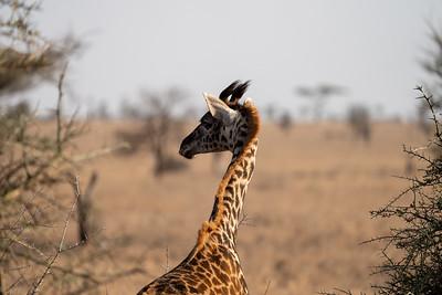 Baby giraffe in the Serengeti