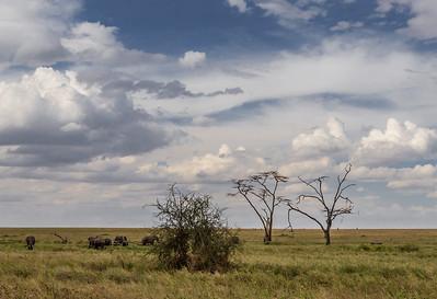 Serengeti National Park, Tanzania African Elephants graze on the plains of Serengeti National Park