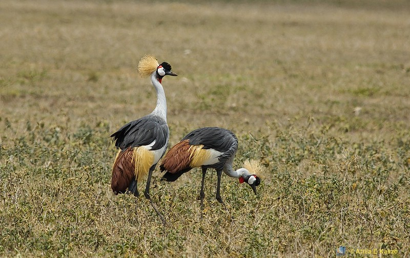 Crowned Crane (Balearica regulorum), Ngorongoro Crater NP., Tanzania