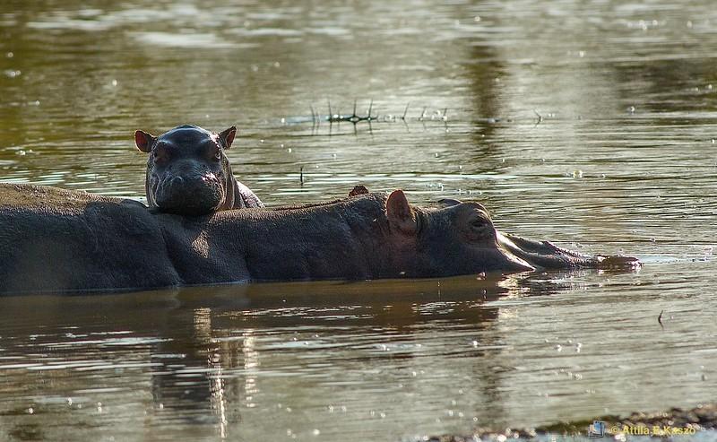 Hippopotamus (Hippopotamus amphibius), Serengeti NP., Tanzania
