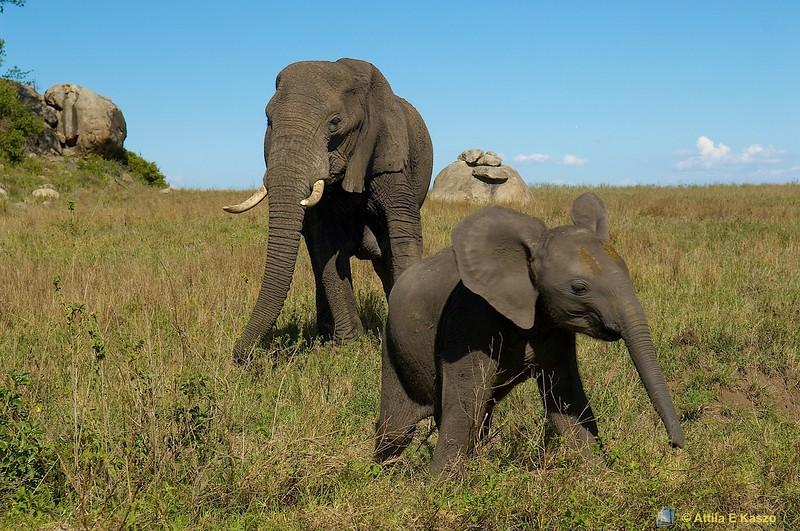 Elephant (Loxodonta africana) Ngoro, Tanzania