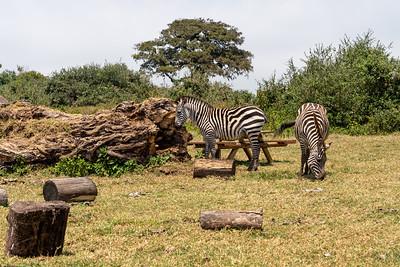 Zebras at a picnic spot in Tanzania