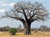 Baobab, Tarangire NP