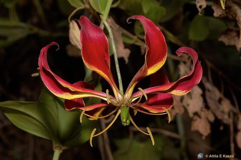 Flame Lily (Gloriosa superba), Ngorongoro Crater NP., Tanzania