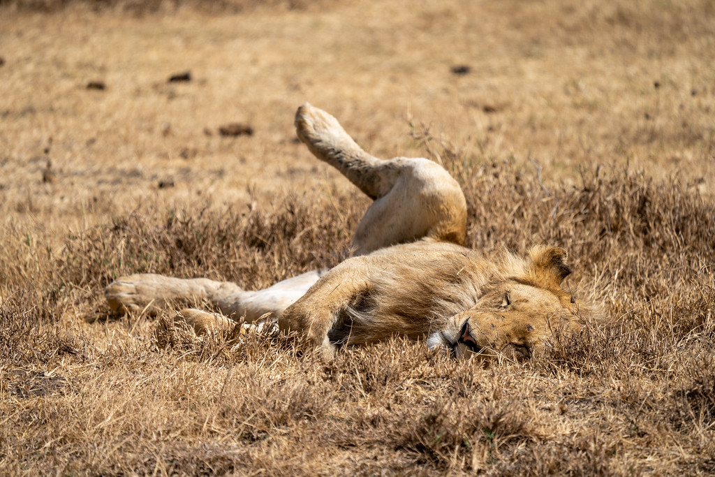 Sleeping lion in the Ngorongoro Crater