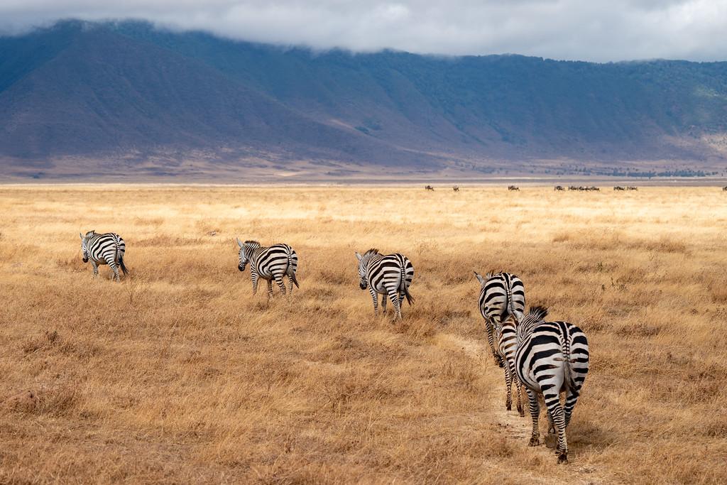 Zebras in the Ngorongoro Crater