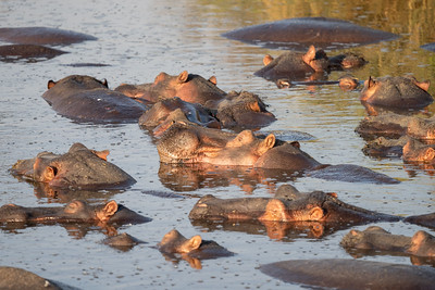 Hippos in the Serengeti