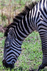 Serengeti National Park, Tanzania Close up of the Plains Zebra in Serengeti National Park.