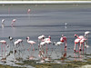 Flamingos, Ngorongoro Conservation Area
