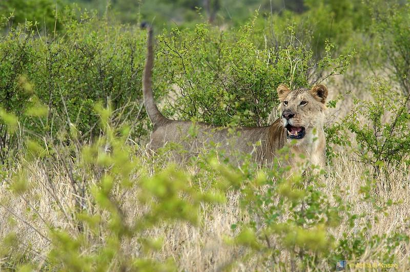 Lion (Panthera leo) - Tarangire NP., Tanzania