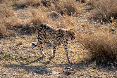 Bloody cheetah in the Serengeti