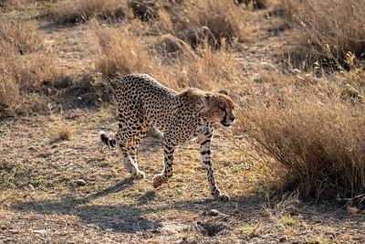 Bloody cheetah in the Serengeti