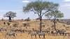 Zebras, Tarangire NP
