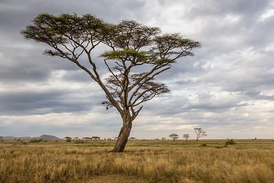 Serengeti National Park, Tanzania An Acacia tree on the broad expanse of the Serengeti