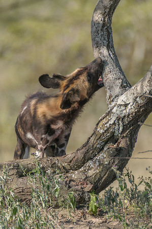 Wild dog, Ndutu Plains